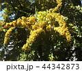 オレンジ色に熟したピラカンサスの実 44342873