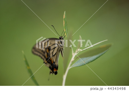 オリーブとアゲハ蝶 44343498