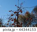 柿の木 44344153