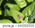 昆虫 虫 シロオビノメイガの写真 44350350