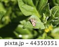 昆虫 虫 シロオビノメイガの写真 44350351