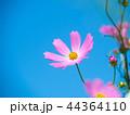 コスモス 秋桜 花の写真 44364110