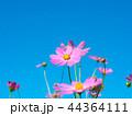 コスモス 秋桜 青空の写真 44364111