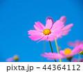 コスモス 秋桜 花の写真 44364112