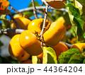 柿の実 44364204