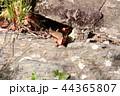 ニホントカゲ トカゲ 1匹の写真 44365807