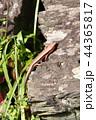 ニホントカゲ トカゲ 1匹の写真 44365817