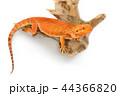 動物 とかげ トカゲの写真 44366820