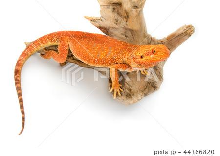 Bearded Dragon 44366820