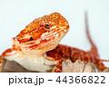 動物 とかげ トカゲの写真 44366822