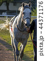 Portrait of the grey arab stallion. 44371176