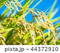 黄金色に実った稲 44372910