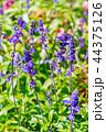 サルビア ファリナセア 花の写真 44375126