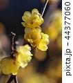 春の香り漂う蝋梅 44377060