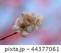 早春に咲く可憐な梅花 44377061