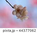 早春に咲く可憐な梅花 44377062