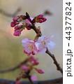 早春に咲く早咲き桜 44377824