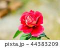 赤いバラの花 44383209