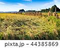 農作物 作物 日本の写真 44385869