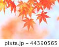 もみじ 紅葉 楓の写真 44390565