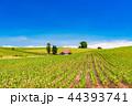 畑 美瑛町 美瑛の丘の写真 44393741