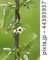マクロレンズで撮ったヘクソカズラの花 44393937