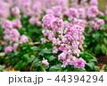 ストック 紫羅欄花 アライセイトウの写真 44394294