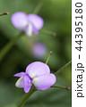 黒アズキの花 44395180