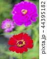 ピンクをバックに朱色の百日草の花 44395182