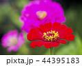 ピンクをバックに朱色の百日草の花 44395183