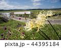 道ばたに咲くシロバナマンジュシャゲの花 44395184