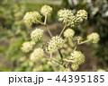 ウドの花のアップ 44395185