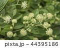 葉をバックにウドの花 44395186