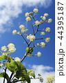 青空の下のウドの花 44395187