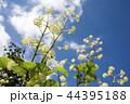 青空の下のウドの花 44395188