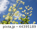 青空の下のウドの花 44395189