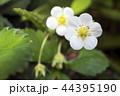 オランダイチゴの花 44395190