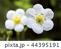 オランダイチゴの花のアップ 44395191