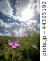 空の下のピンクのコスモスの花 44395192