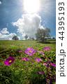 太陽の下のピンクのコスモスの花 44395193