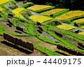 棚田 稲穂 秋の写真 44409175
