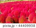 コキア 赤 秋の写真 44409938