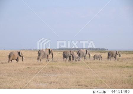 アンボセリ国立公園 アフリカゾウの行進 44411499