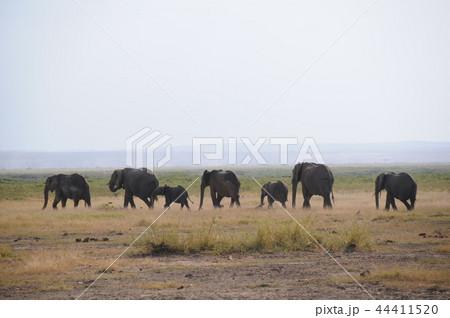 アンボセリ国立公園 アフリカゾウの行進 44411520