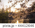 夕暮れ 桜 春の写真 44412646