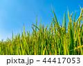 稲穂 稲 稲作の写真 44417053