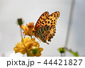 マリーゴールドと蝶 44421827