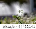 秋のシロツメクサ 44422141