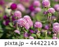 秋のシロツメクサ 44422143