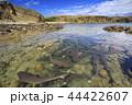 入り江に繁殖のために集まったネムリブカ 小笠原 44422607